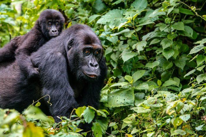 4 Days Rwanda – Uganda Gorilla Trekking