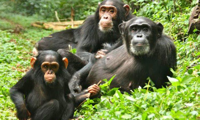 7 Days Ultimate Primate Tour Uganda
